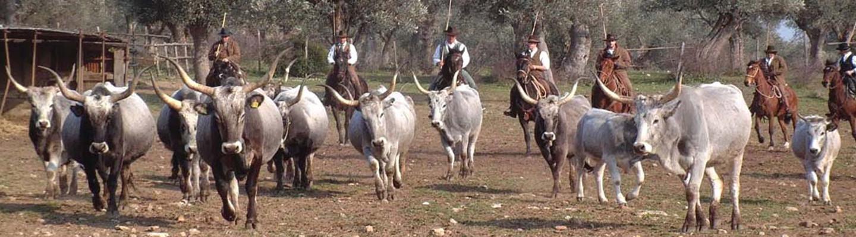 Butteri Cowboys in Maremma Tuscany