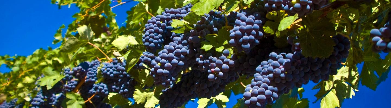 Harvesting in Maremma Tuscany