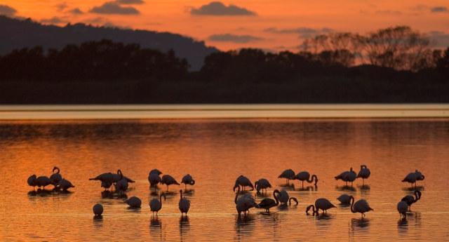 Pink flamingoes in Orbetello Lagoon - photo from AlternativaSostenibile