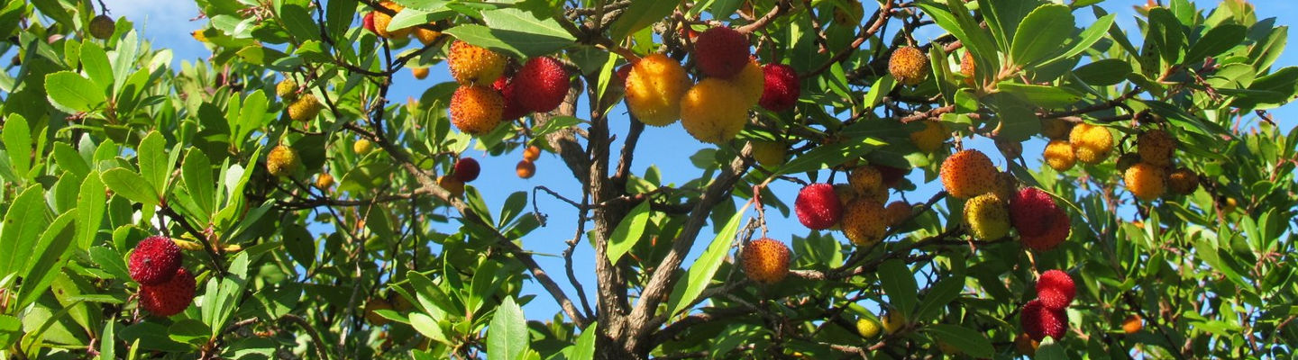 """Arbutus"" strawberry tree, Tuscany"